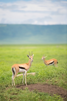 Thompson's Gazelles in Ngorongoro Crater Tanzania, Africa. From iStock Photo