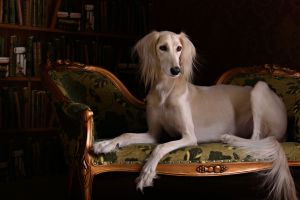 Salukis are from the Middle East, and are one of the oldest dog breeds. Photograph 123rf Stock Photos.