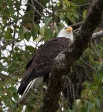 Bald Eagle. Photograph, Ann Fisher.