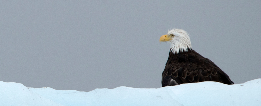 Bald Eagle perched on an iceberg. Photograph, Ann Fisher.