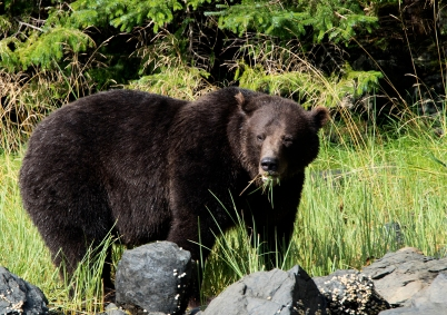 Salad bar anyone? Coastal brown bear eating her greens. Photograph, Ann Fisher.