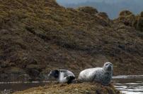Harbor Seals. Photograph, Ann Fisher.