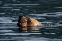Stellar sea lion looks us over. Photograph, Ann Fisher.