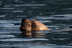 Stellar sea lion looks us over. Photograph, Ann Fisher.