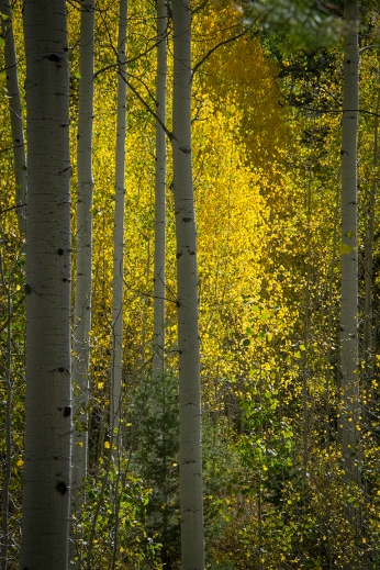 Golden Aspens on the Loop Drive above Sundance. Photograph, Ann Fisher.