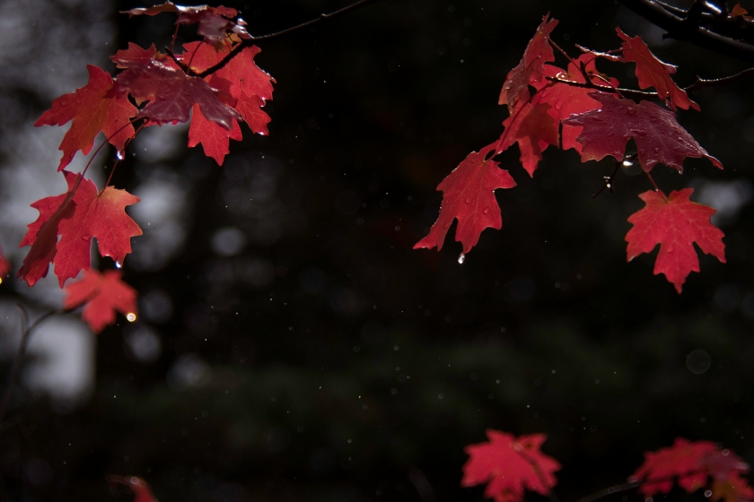 Maple leaves in the rain