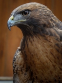 Red tailed hawk with a bird rescue group at the Sundance Harvest Market. Photograph, Ann Fisher.