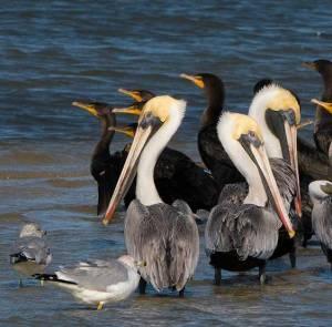 Brown Pelicans and Cormorants on a sandbar