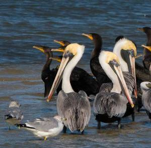 Brown Pelicans and Cormorants on a sandbar
