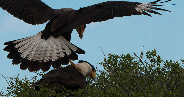 Mated pair of Crested CaraCara