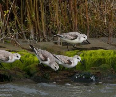 Sanderlings, winter plumage