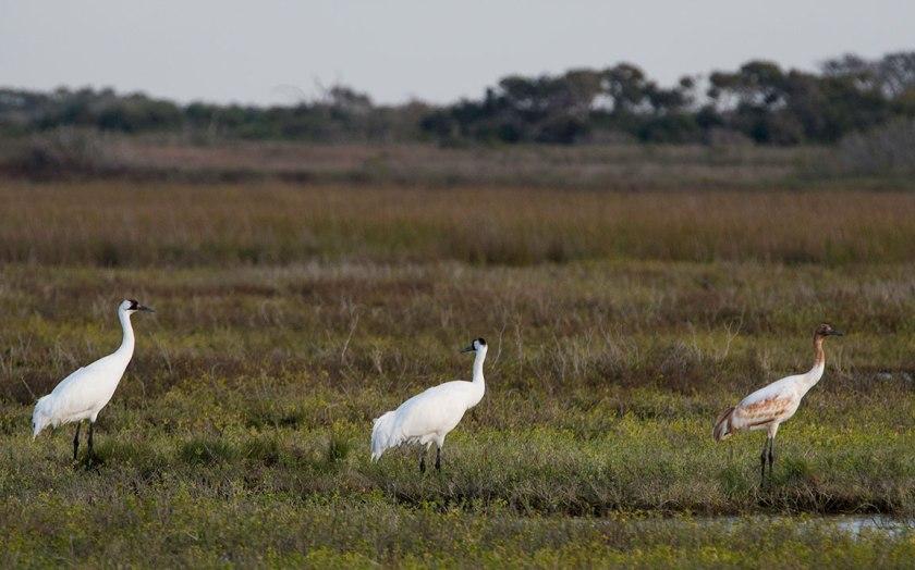 Whooping Crane family aransas Refuge