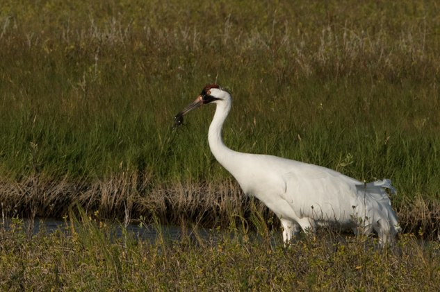 Whooping Crane with a crab
