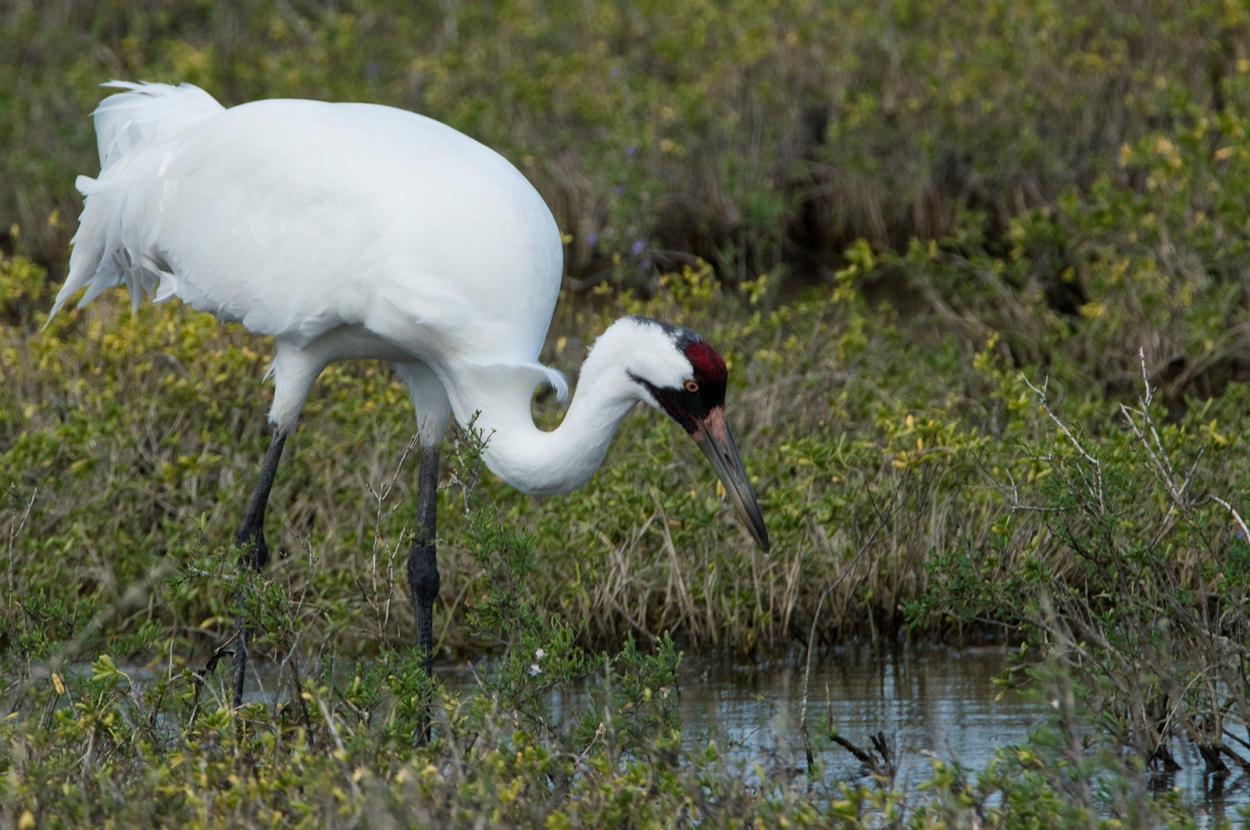 Whooping Crane in the Aransas National Wildlife Refuge
