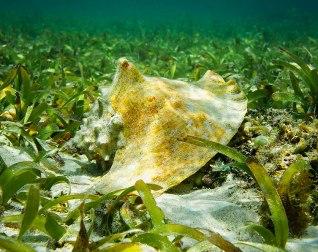 Queen conch in sea grass