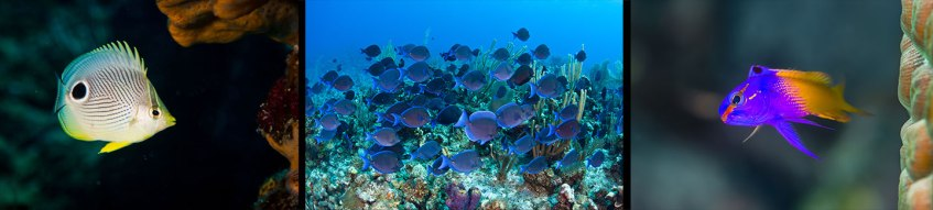 Four-eye butterfly fish, blue tangs, royal gramma