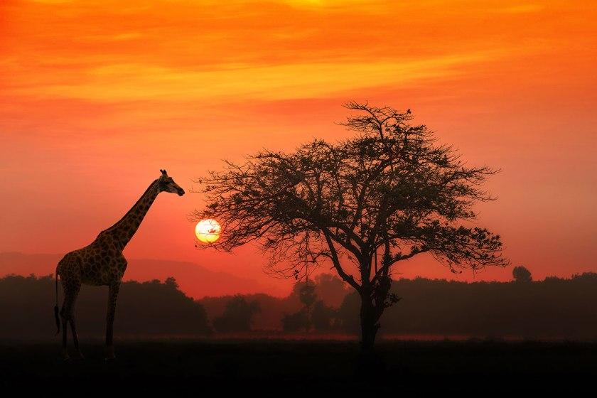 Silhouette of giraffe on the savannah at sunset