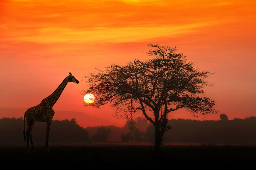 Silhouette of giraffe on the savannah at sunset