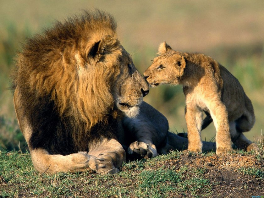 Cub with full grown male lion