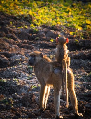 Yellow baboon mother and baby near a lagoon, South Luangwa National Park, Zambia.