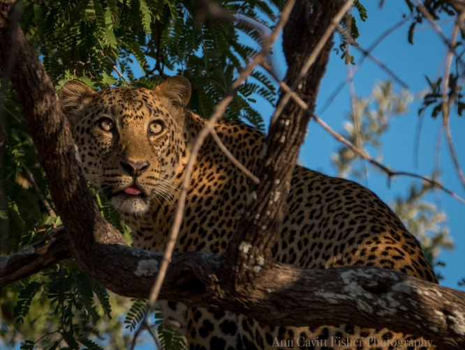 Male Leopard in South Luangwa National Park.