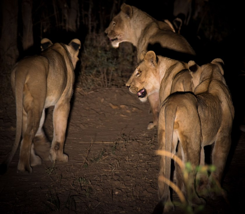 Nsefu pride of lions on a night game drive from the camp at Tena Tena. South Luangwa National Park, Zambia