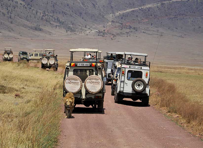 ten vehicles and tourists follow a lion in Ngorongoro crater in Tanzania.