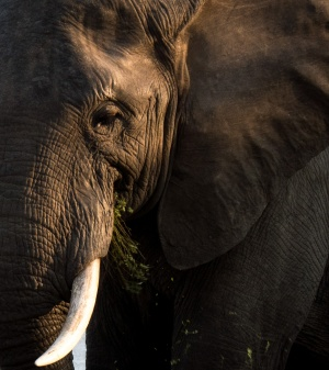 Elephant in South Luangwa National Park