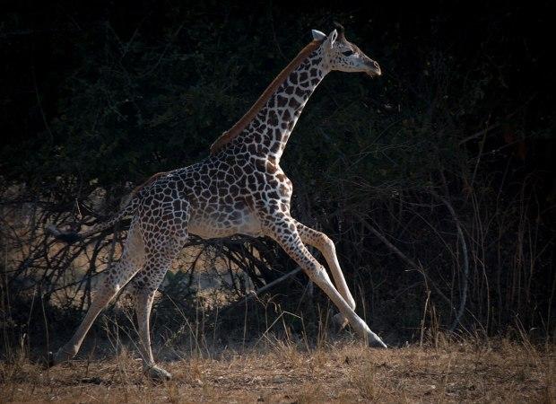 Baby Giraffe South Luangwa National Park Zambia