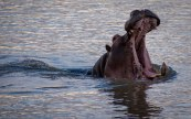 Hippo in the Luangwa River Yawns