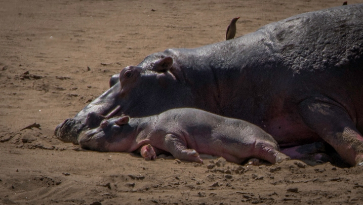 Hippo mother and child napping next to the Luangwa River.