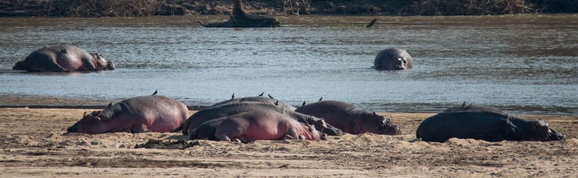 Hippos nap on the river beach of the Luangwa
