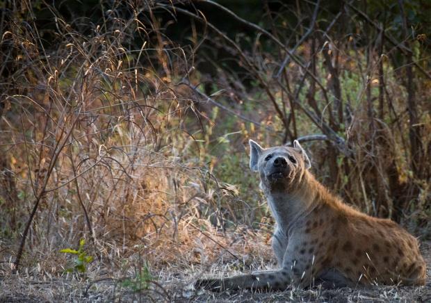 Hyena South Luangwa National Park Zambia