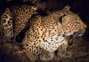 Female Leopard Luangwa National Park Zambia