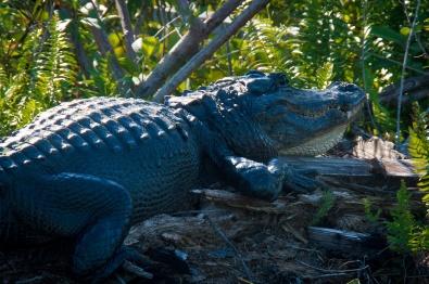 American Alligator (Alligator mississippiensis) in the Everglades.