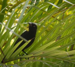 Grackle in Barbados