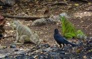 Iguanas on Tobago Cays