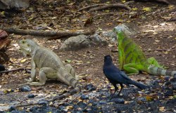 Iguanas on Tobago Cays