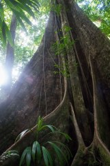 Giant Balata Tree, Dominica