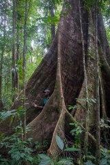 Giant Balata Tree, Dominica
