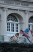 Sparrow enjoying the fountain in Jackson Square.