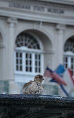 Sparrow enjoying the fountain in Jackson Square.
