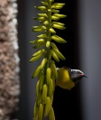 Bananaquit on a poker plant at Nelson's Dockyard.